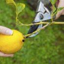 Медики рассказали, чем полезен лимон